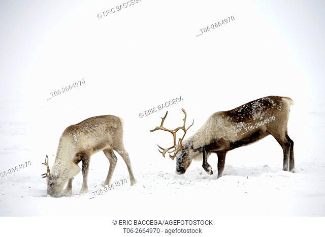 Reindeer (Rangifer tarandus) grazing on Lichen under the snow, Yar-Sale district, Yamal, Northwest Siberia, Russia
