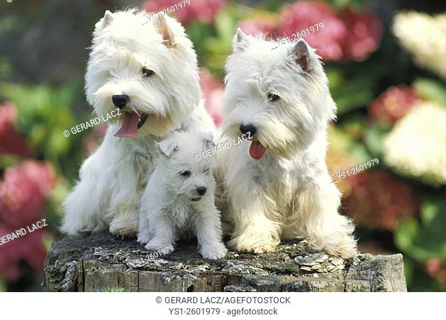 West Highland White Terrier, Pair and Pup