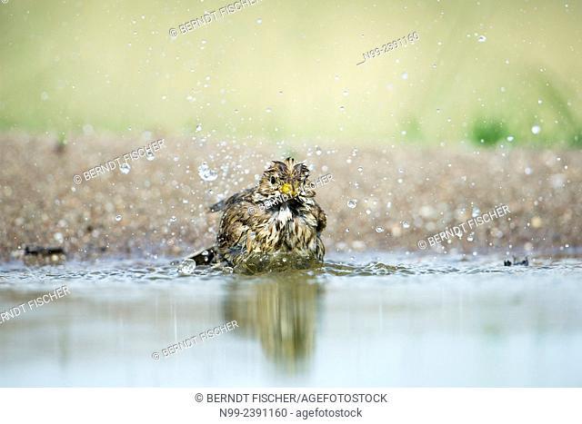 Corn bunting (Emberiza calandra), bathing in small pond, Bulgaria