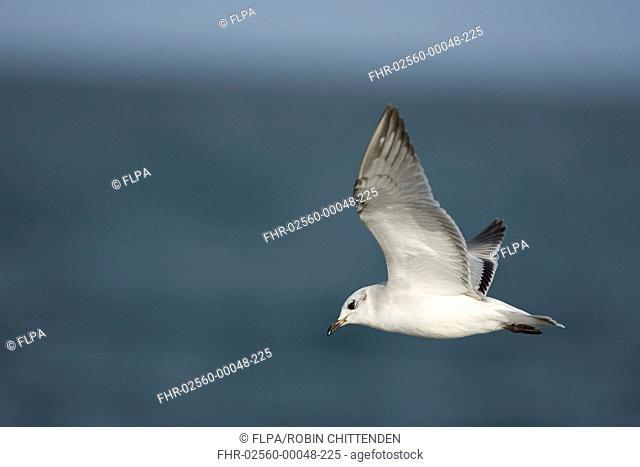 Mediterranean Gull Larus melanocephalus immature, first winter plumage, in flight over sea, Norfolk, England, september