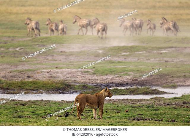 Lion (Panthera leo), lioness hunting Burchell's Zebras (Equus quagga burchelli), Chobe National Park, Botswana