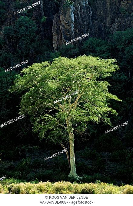 Mozambique Fever tree