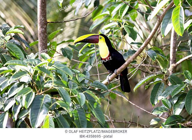 Black Mandibled Toucan (Ramphastos ambiguus), Regenwald bei Boca Tapada, Costa Rica
