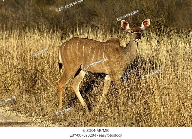 Female Kudu (Tragelaphus strepsiceros)