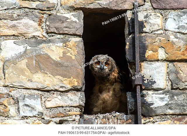 11 June 2019, Saxony-Anhalt, Havelberg: An eagle owl chick sits in a niche in the western structure of St. Mary's Cathedral in Havelberg