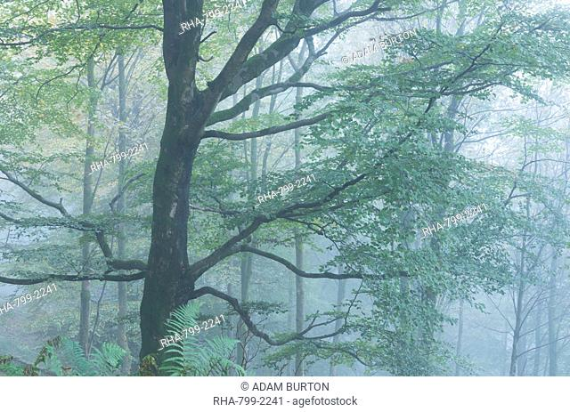Deciduous woodland in mist, Grasmere, Lake District National Park, Cumbria, England, United Kingdom, Europe