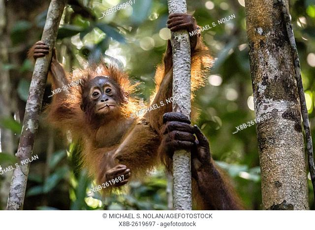 Orangutan youngster, Pongo pygmaeus, Camp Leakey, Tanjung Puting National Park, Borneo, Indonesia