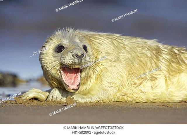 Grey Seal  (Grypus halichoerus) young pup on sand bar calling for mother. North Lincolnshire, UK. November 2005
