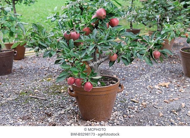 apple tree (Malus domestica 'Red Spur', Malus domestica Red Spur), cultivar Red Spur, apples on a tree