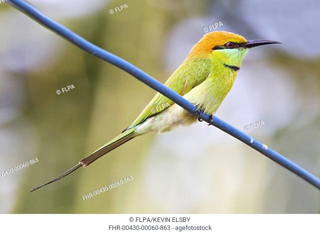 Little Green Bee-eater (Merops orientalis) adult, perched on wire, Mekong Delta, Vietnam, December