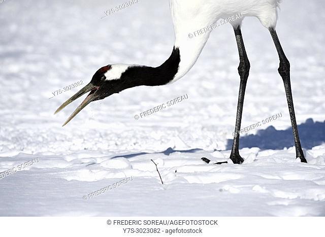Japanese cranes, tancho, in winter, Kushiro, Hokkaido, Japan, Asia