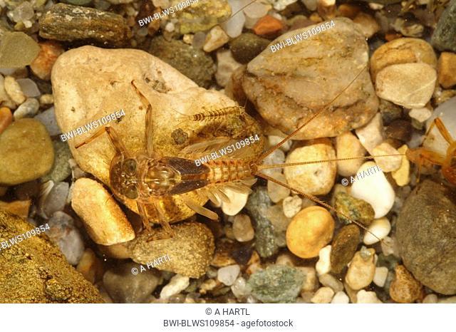mayfly Ecdyonurus spec., larva on pebble, Germany, Bavaria, Staffelseeache