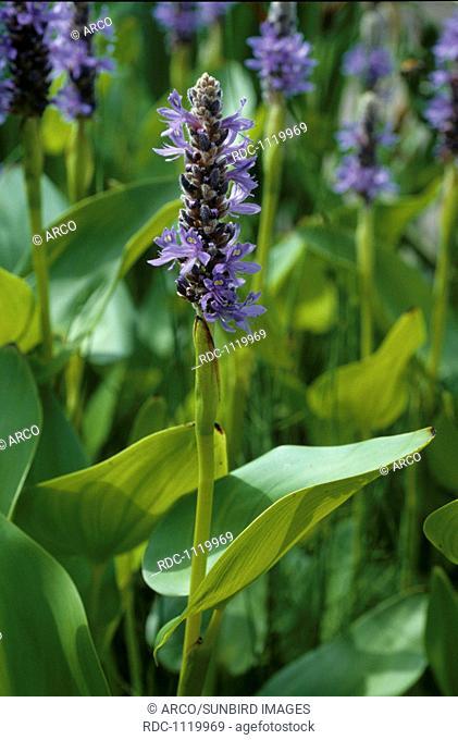 Pickerel Weed, Pickerelweed (Pontederia cordata)