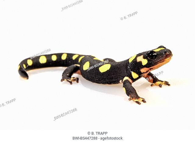 Kurdistan Newt, Kurdistan spotted newt (Neurergus derjugini, Neurergus microspilotus), juvenile, cutout, Iraq, Bahtaran, Avroman