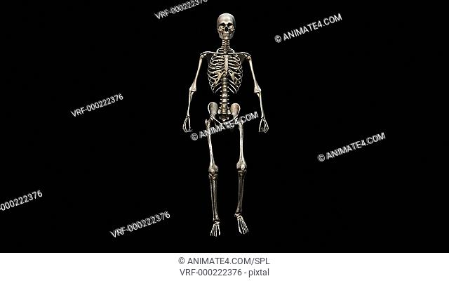 Male skeleton, walking