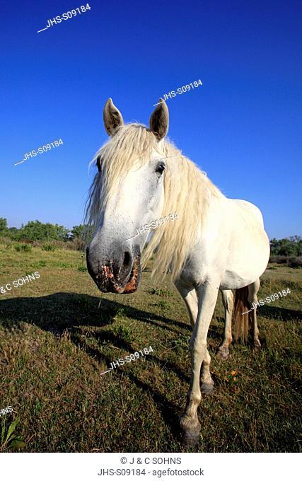 Camargue Horse, Equus caballus, Saintes Marie de la Mer, France, Europe, Camargue, Bouches du Rhone, mare portrait