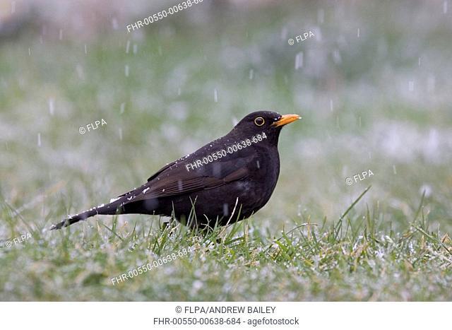 European Blackbird Turdus merula adult male, standing on garden lawn, in falling snow, Bentley, Suffolk, England, april