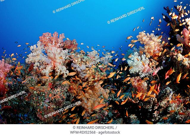 Anthias and coral reef, Indian ocean Ari Atol Atoll, Maldives Islands