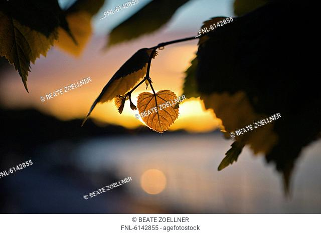 Heart-shaped lime leaf at sunset
