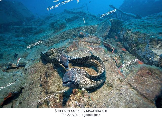 Mediterranean Moray (Muraena helena), San Telmo, Sant Elm, Mallorca, Majorca, Spain, Mediterranean Sea, Europe