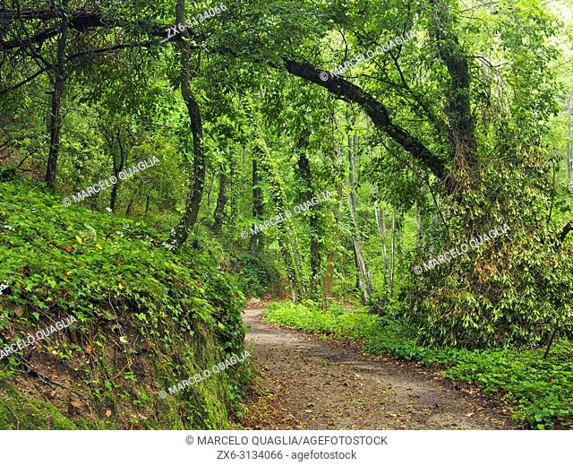 Mixed forest at La Nespla site during rain storm, Arbucies village countryside. Spring time at Montseny Natural Park. Barcelona province, Catalonia, Spain