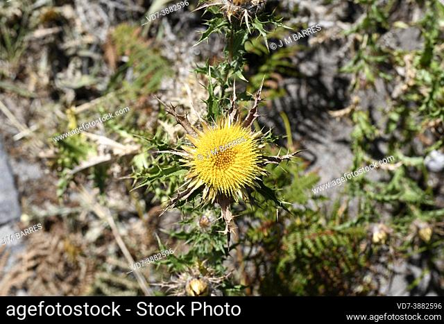 Clustered carline thistle (Carlina corymbosa) is a spiny perennial plant native to Mediterranean Basin and Portugal. This photo was taken in Cies Islands