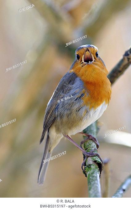European robin (Erithacus rubecula), sitting on a branch singing, Germany