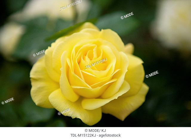 A yellow rose in full bloom