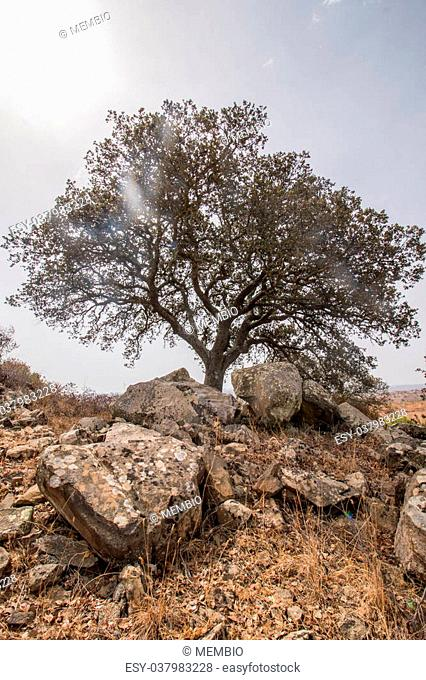 View of a dry landscape with a oak tree (Quercus ilex)