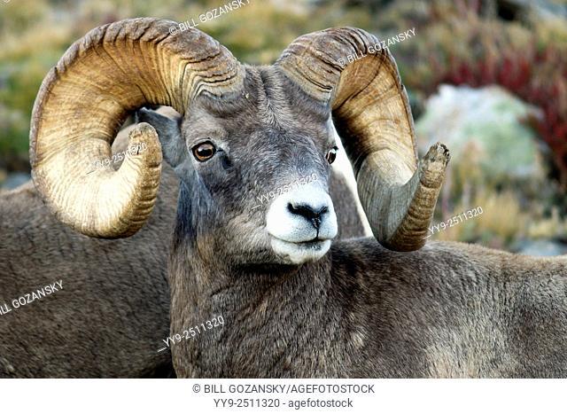 Rocky Mountain Bighorn Sheep (Ovis canadensis) - Rocky Mountain National Park - near Estes Park, Colorado, USA