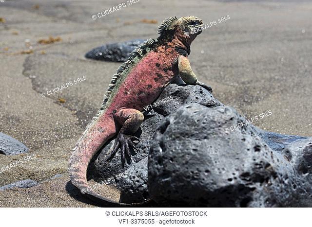 Island Floreana, Galapagos, Ecuador. Marine iguana