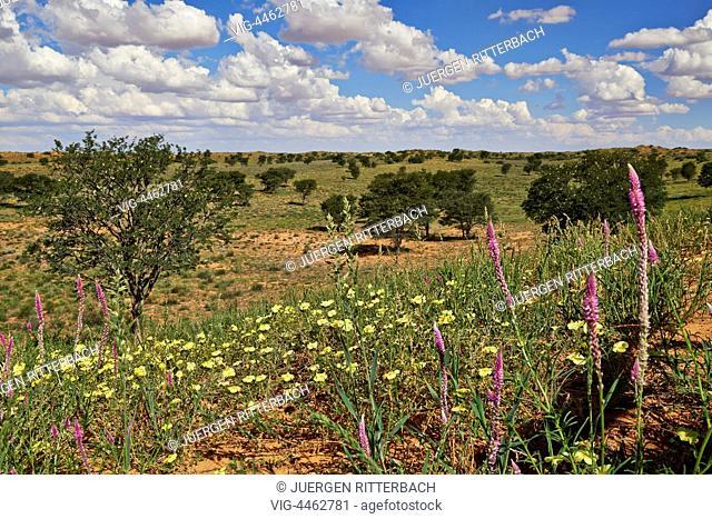 flowers in landscape of Kgalagadi Transfrontier Park, Kalahari, South Africa, Botswana, Africa - Kgalagadi Transfrontier Park, South Africa, Botswana