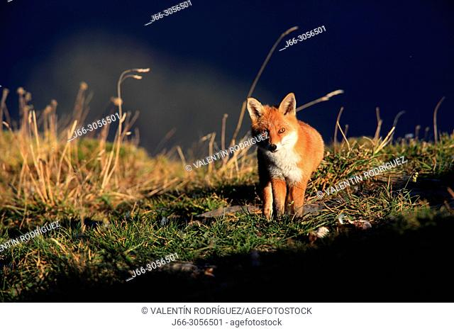 Fox (Vulpes vulpes) in the national park Ordesa y Monte Perdido. Huesca