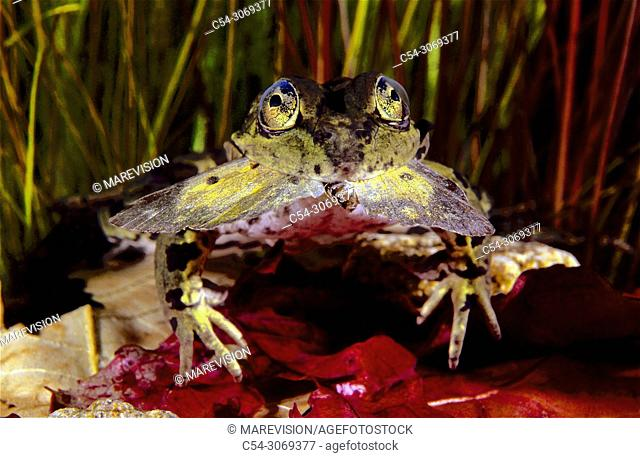 Perez's frog, Frog, Common Frog, Green frog (Rana perezi) devouring butterfly. Rio Oitaven. Galicia. Spain. Europe