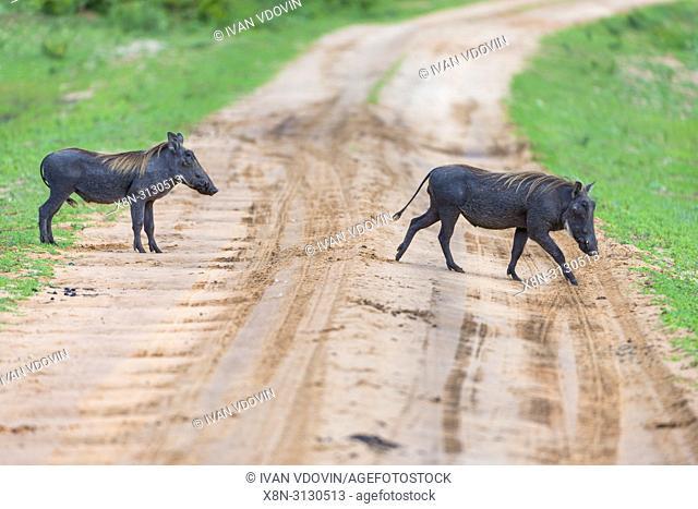 Common Warthog (Phacochoerus africanus), Tanzania, East Africa