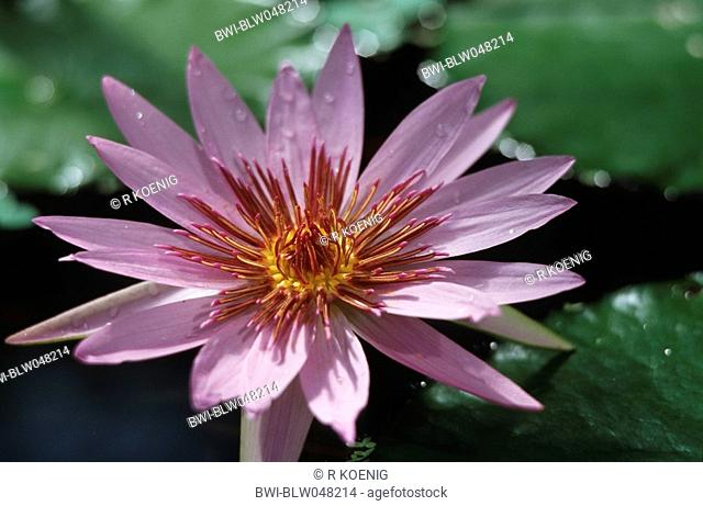 Egyptian lotus, blue lotus of the nile, blue water lily Nymphaea caerulea, blossom
