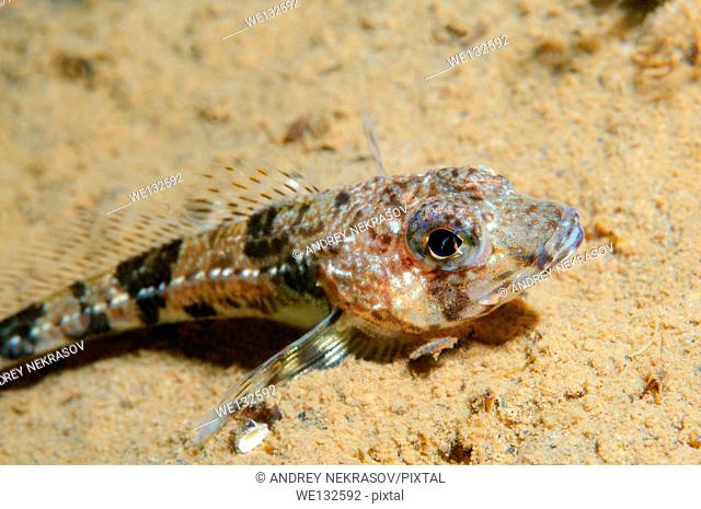 Shorthorn sculpin, short-spined sea scorpion, bull-head, bull-rout or father-lasher (Myoxocephalus scorpius) White sea, Karelia, Arctic, Russian Federation