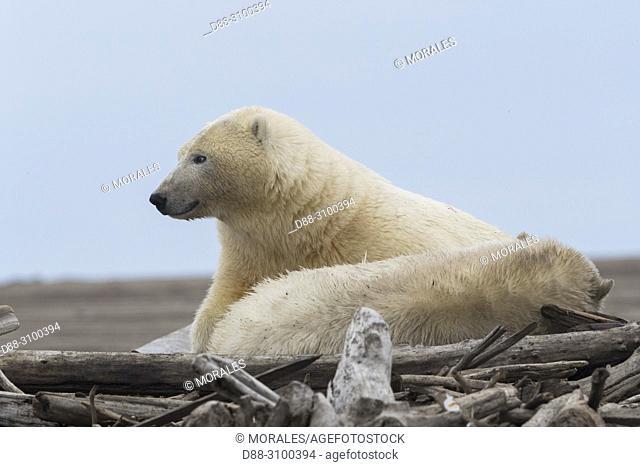 United States, Alaska, Arctic National Wildlife Refuge, Kaktovik, Polar Bear( Ursus maritimus ), Female and young resting along a barrier island outside...