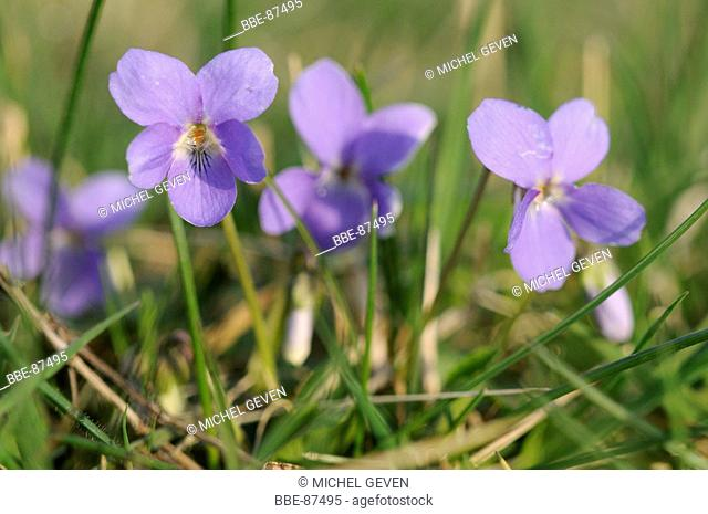 Detailed view of the flower of Hairy Violet