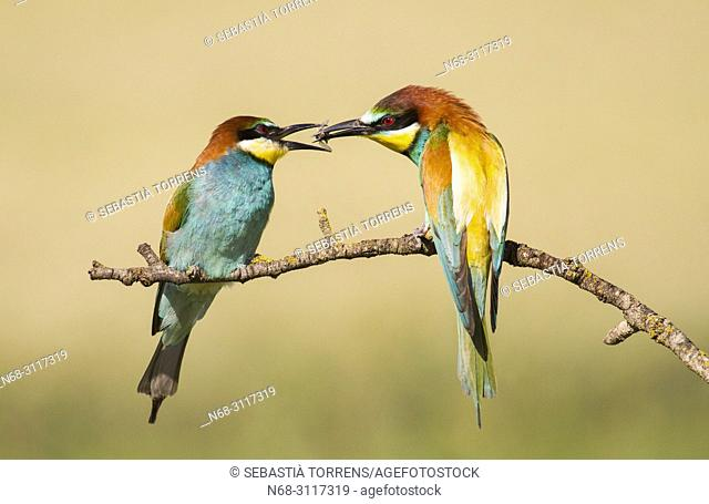 Pair of bee-eaters (Merops apiaster) during courtship, Montgai, Lleida, Spain