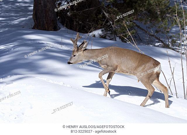 Roe deer in the snow (Capreolus capreolus), in velvet, France
