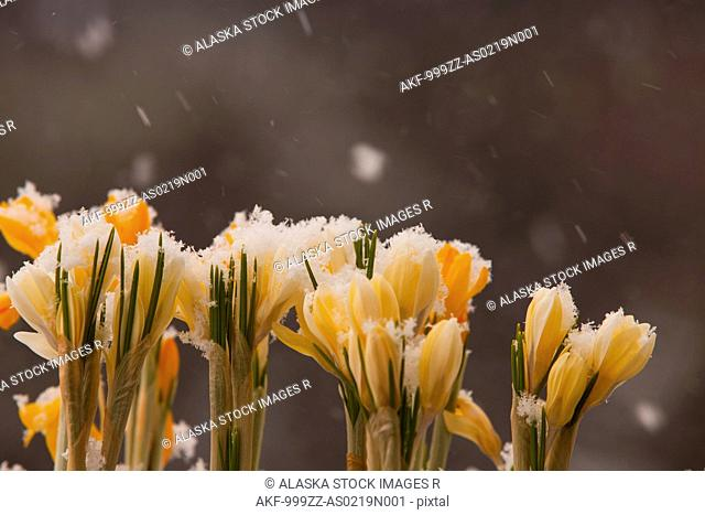 Close up of white and yellow crocus flowers growing outside in falling snow, Kodiak, Southwest Alaska, Winter