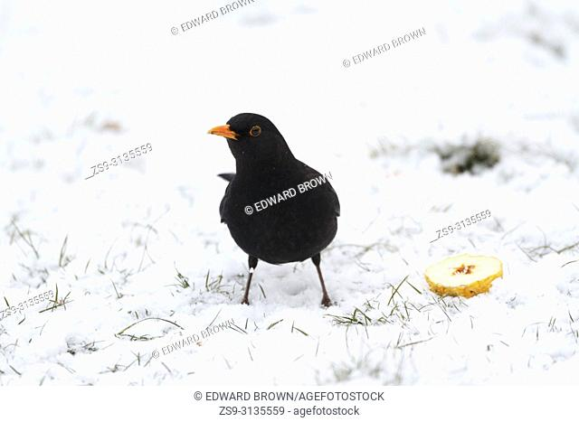 A Blackbird (Turdus merula) feeds on a snow covered lawn, East Sussex, UK