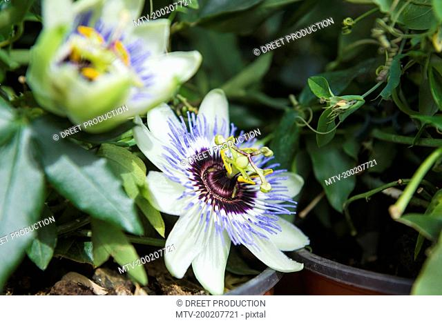 Passion flowers for sale in garden centre, Augsburg, Bavaria, Germany