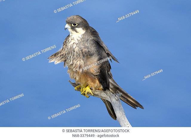 Eleonora's falcon (Falco eleonorae) on a branch, Majorca, Spain