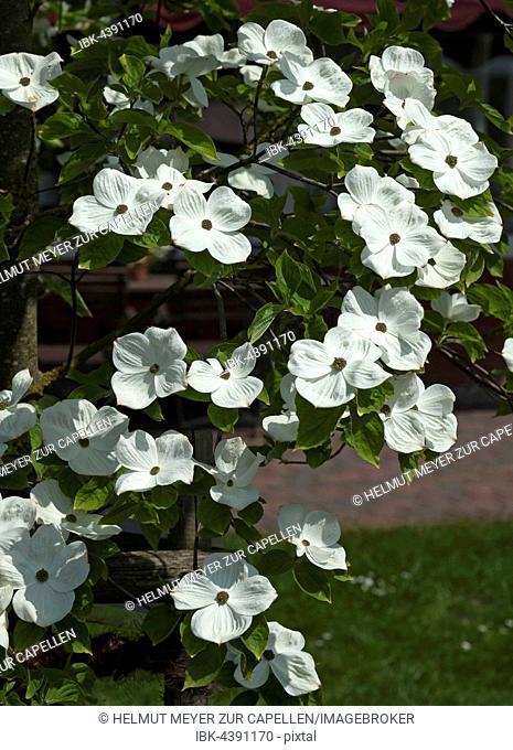 Flowers of mountain dogwood (Cornus nuttallii), Mecklenburg-Western Pomerania, Germany