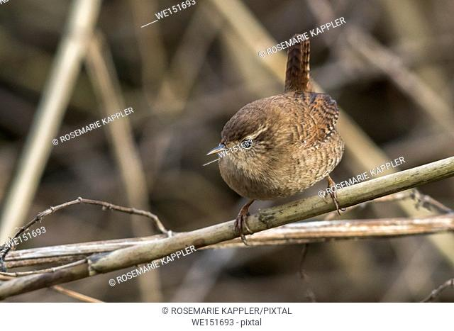 Germany, Saarland, Bexbach-City - A wren is sitting on a branch