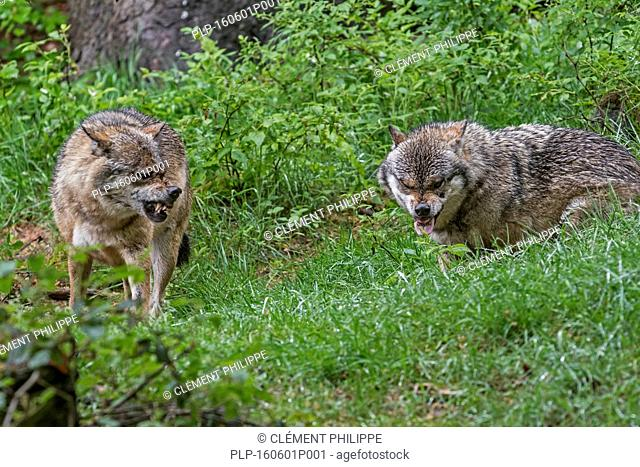Two aggressive gray wolves / grey wolves (Canis lupus) snarling with bared canines and extended tongue