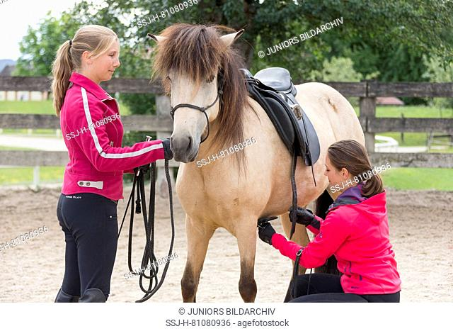 Icelandic Horse. Juvenile dun horse being trained to accept a saddle. Austria