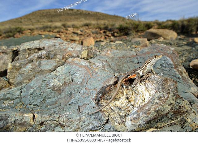 Spotted Sand Lizard Pedioplanis lineoocellata pulchella adult, basking on fossil in habitat, Karoo Region, South Africa
